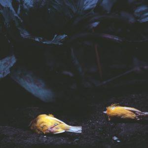 twee-gele-kanaries-in-donker